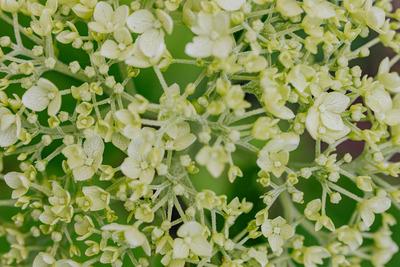 kaboompics_Green flowers