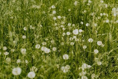 kaboompics_Dandelions in green grass