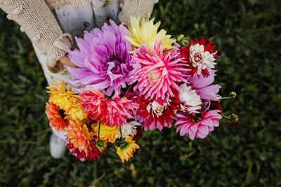 kaboompics_Beautiful colorful dahlia flowers